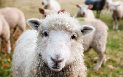 Sheep Solution : Les Bergères 2.0.